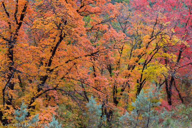 Bigtooth maple trees, McKittrick Canyon, Guadalupe Mountains National Park, Texas