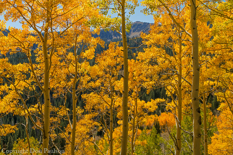 Fall aspen trees - Utah, Wasatch Cache National Forest