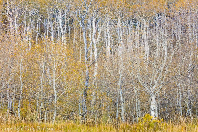 Aspen forest - Utah, Uinta-Wasatch National Forest, Alpine Loop Road