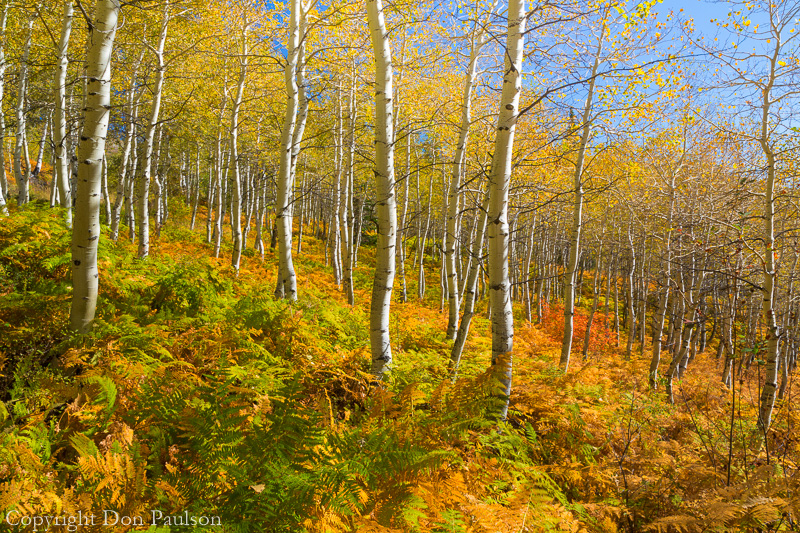 Aspen trees and bracken ferns, along the Alpine Loop Road - Utah, Wasatch Cache National Forest