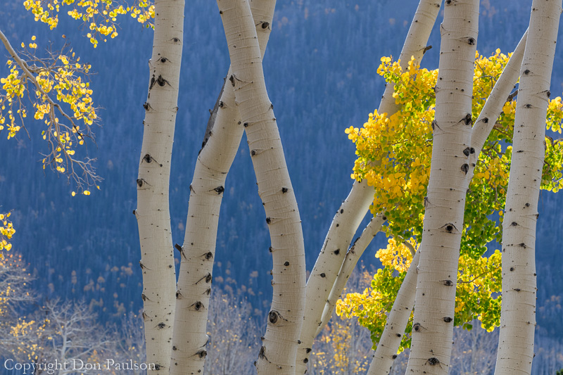 Aspen trees and distant hillside of conifer trees - Utah, Fishlake National Forest, near Fish Lake