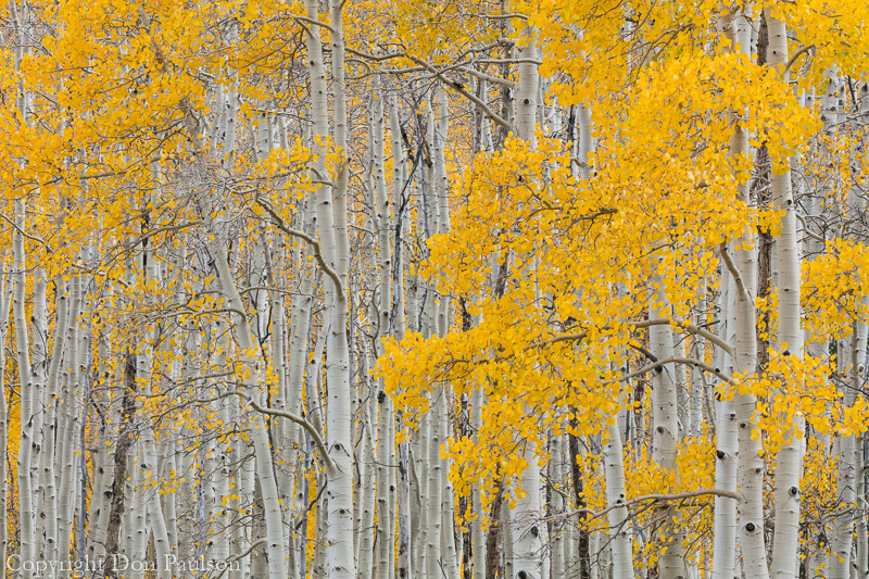 Aspen trees - Utah, Fishlake National Forest, Fish Lake, viewed from the Lakeshore National Recreation Trail.