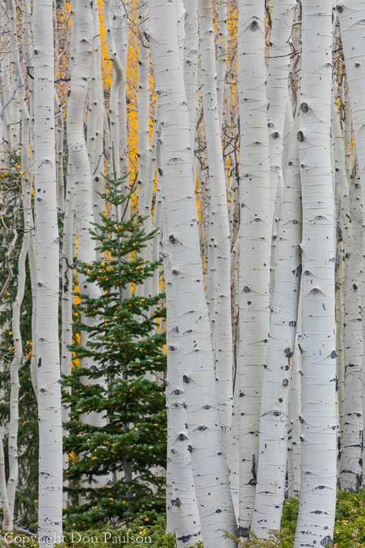 Lone conifer tree in an aspen forest, -Utah, Fishlake National Forest