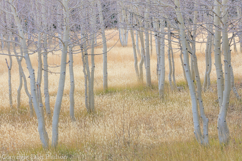 Grassy meadow and Aspen trees in fall - Nevada, Great Basin National Park