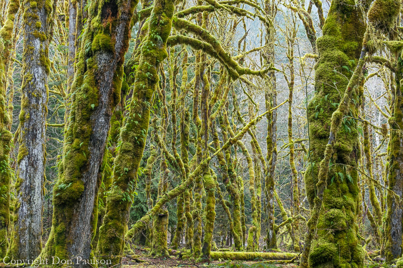 Bigleaf maple trees in winter - Washington, Olympic National Park, North Fork Skokomish River Valley