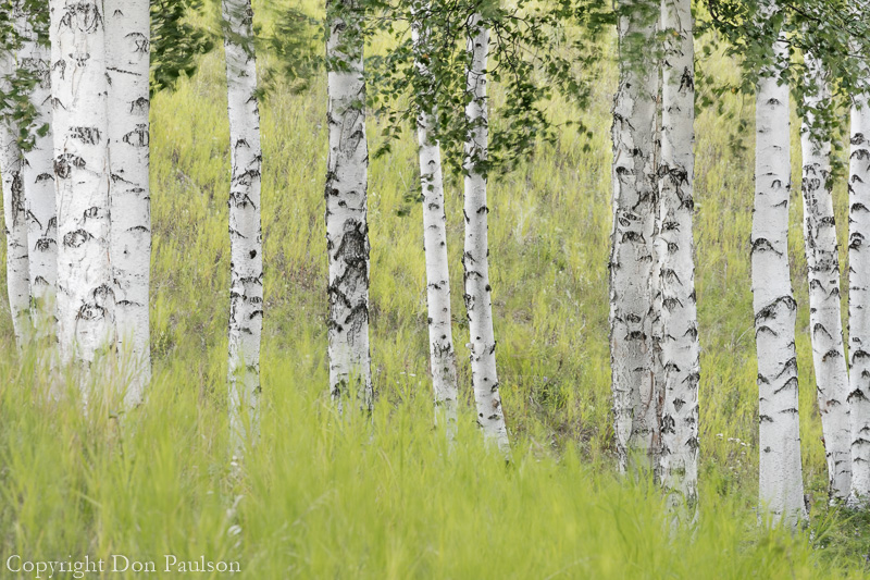 Paper Birch Trees and grasses, Alaska