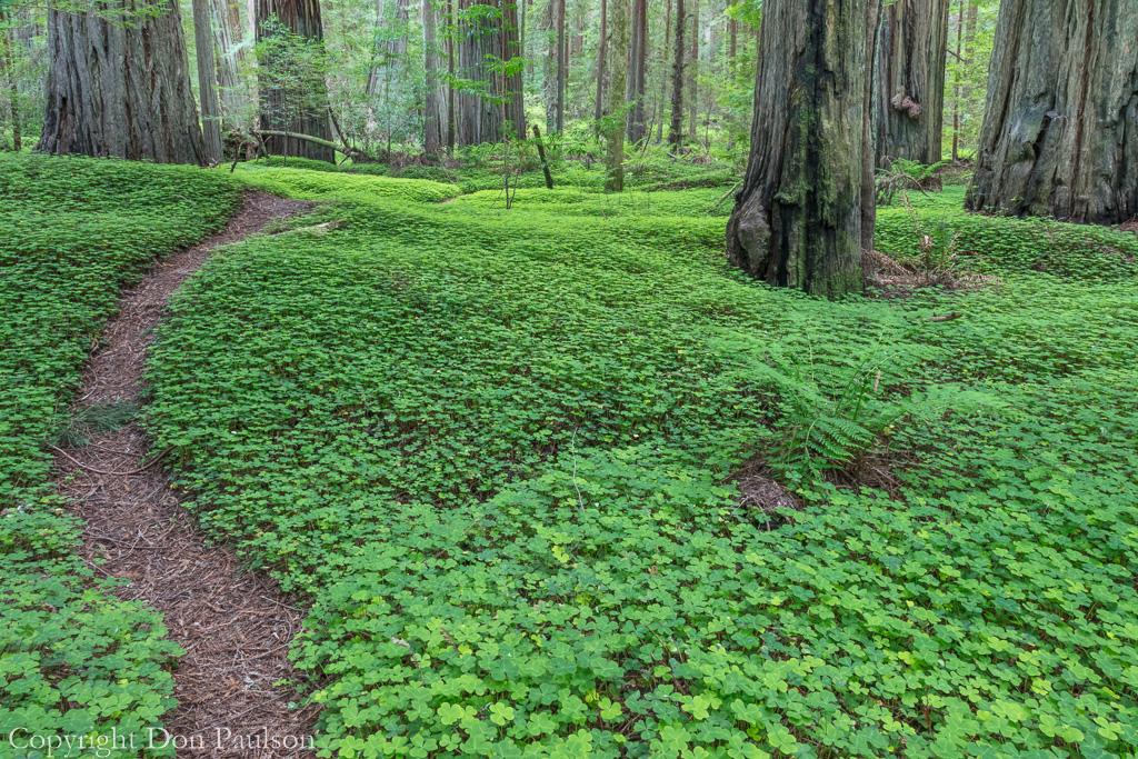 California, Humbodlt Redwoods State Park. Photographed at 50.6 mega pixels