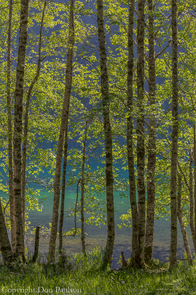 Alder trees on lake shore - Olympic National Park, Lake Crescent.