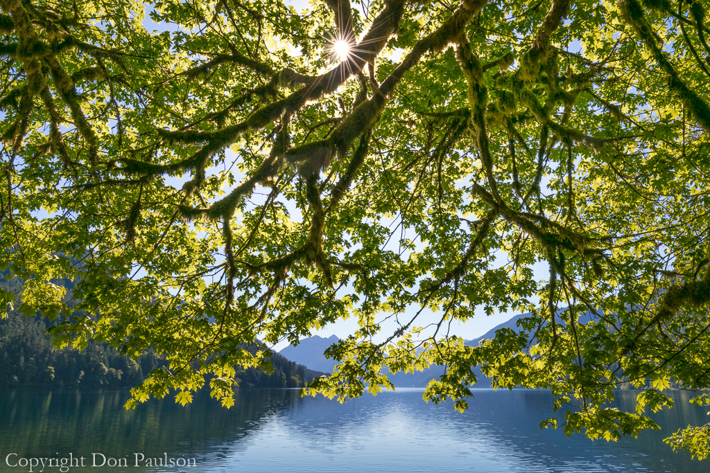 Bigleaf maple tree on lake shore - Olympic National Park, Lake Crescent