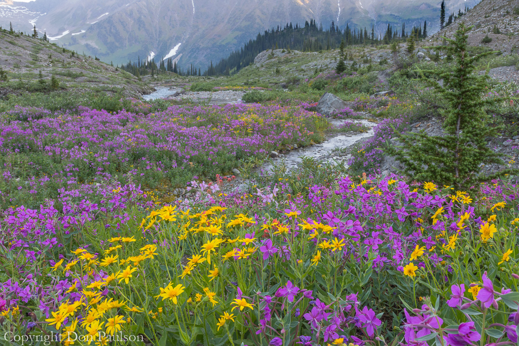 Colorful wildflower meadow - Canada, British Columbia, Selkirk Mountains