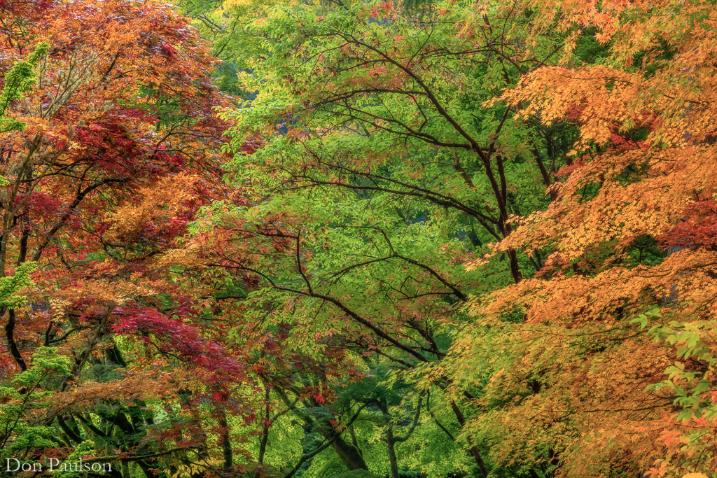 A forest of fall color - Washington, Bainbridge Island, Bloedel Reserve