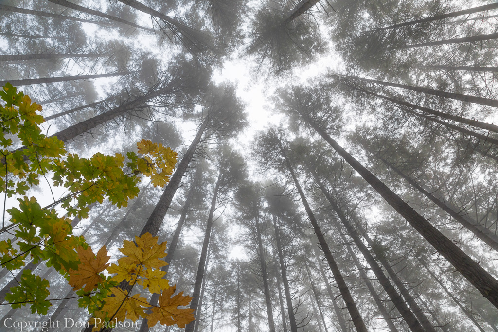 Looking up on a foggy morning in a conifer forest