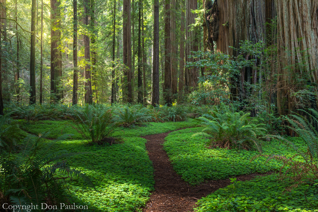 California, Jedediah Smith Redwoods State Park, Stout Memorial Grove