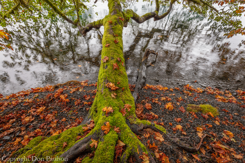 Alder tree reaching out over Lake Crescent
