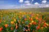 Poppies, Carizzo Plain National Monument, California
