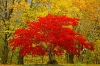 Red and Yellow Maple Trees, North Cascades, Newhalem, Washington