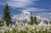 Avalanche Lilies and Mount Rainier
