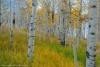 Aspen trees in a grassy meadow - Utah, Fishlake National Forest, near Fish Lake, viewed from the Lakeshore National Recreation Trail