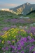 Alpine wildflowers - Canada, British Columbia, Selkirk Mountains