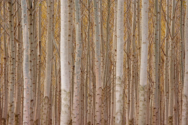 Poplar Trees, Oregon