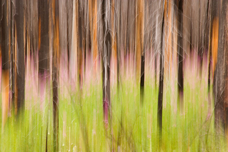 Abstract, Fireweed, burned forest, British Columbia