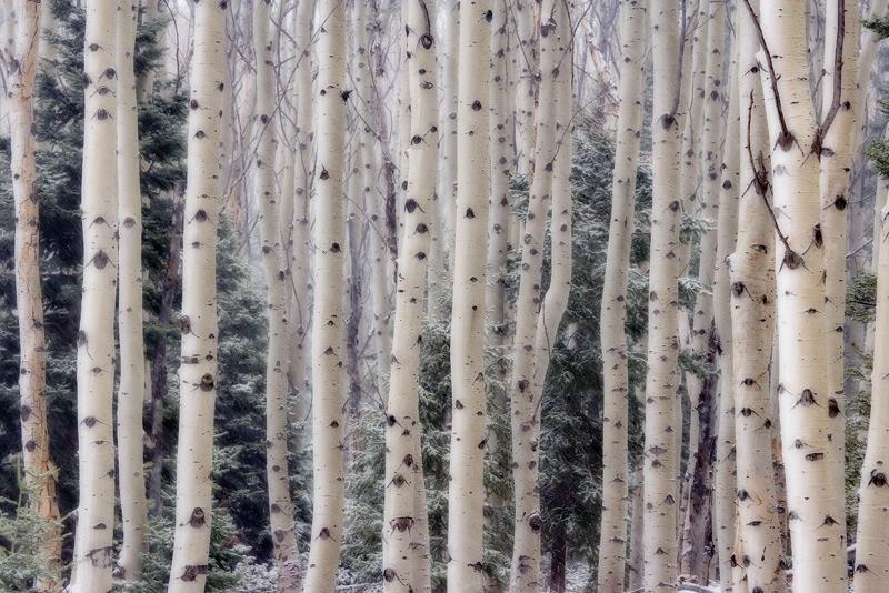 Aspen Trees, Utah