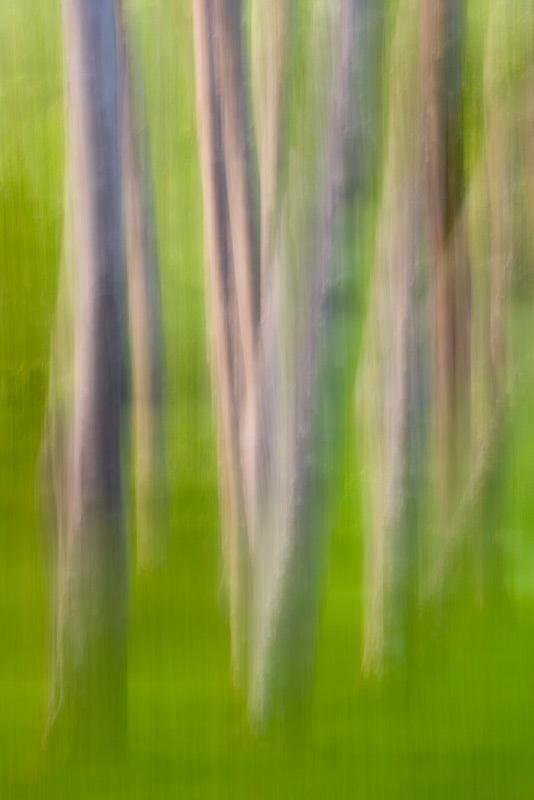 Abstract, Alder Trees, Washington