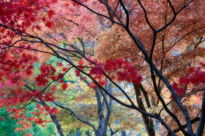 Painterly Fall Trees, Ashland, Lithia Park, Oregon