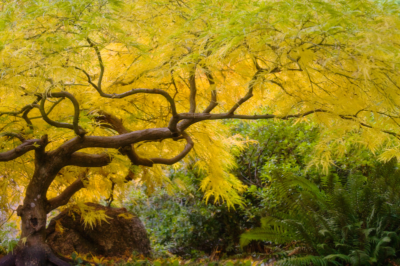 Oregon; Ashland; Lithia Park; Maple Tree