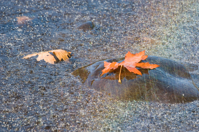 Oregon; Siuslaw River; Rain; fall leaves; maple