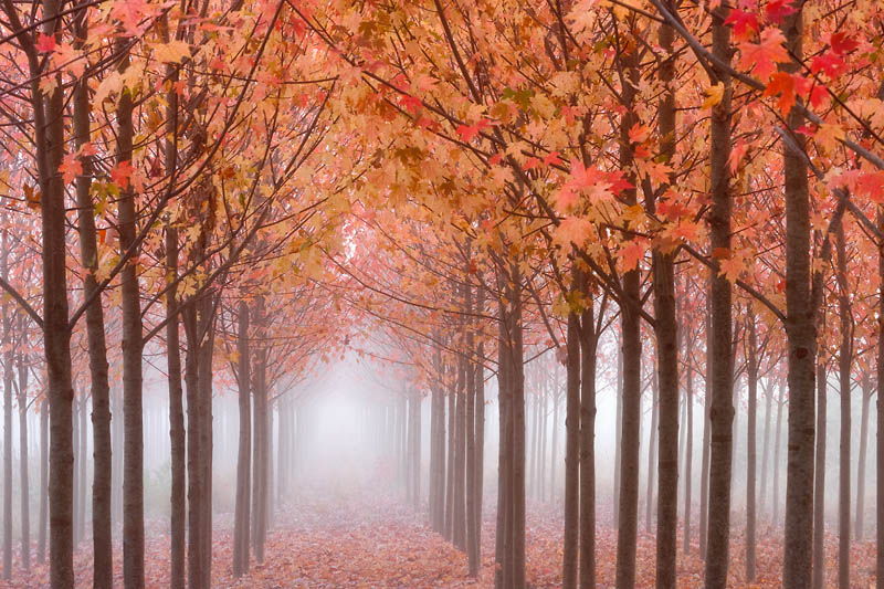 Oregon; Willamette Valley; Rows of Trees in Fog