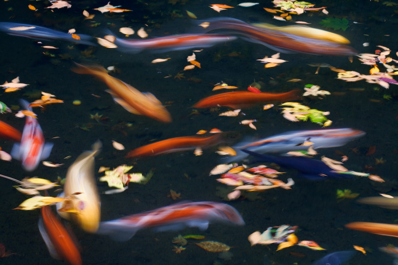 Oregon; Portland; Japanese Garden; Pond; fish