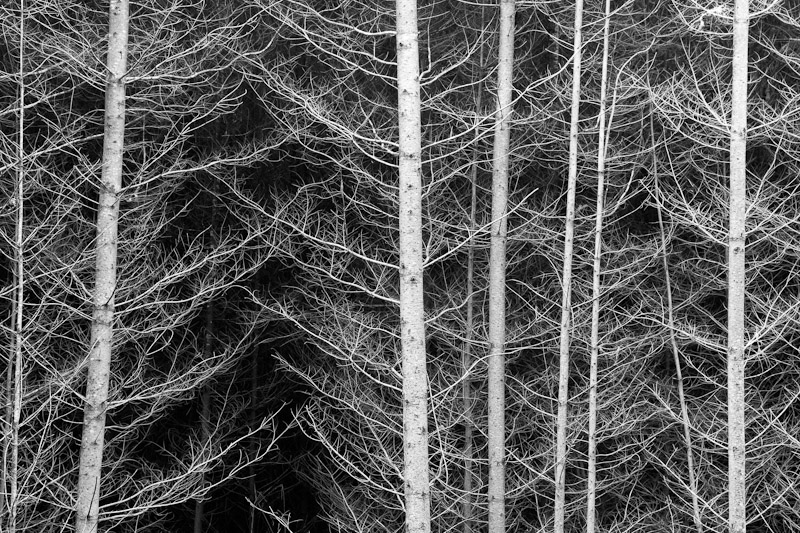 Oregon; Alsea River; abstract black and white of tree tunks and limbs