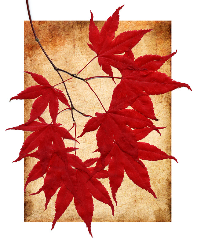 Japanese Maple Leaves-7