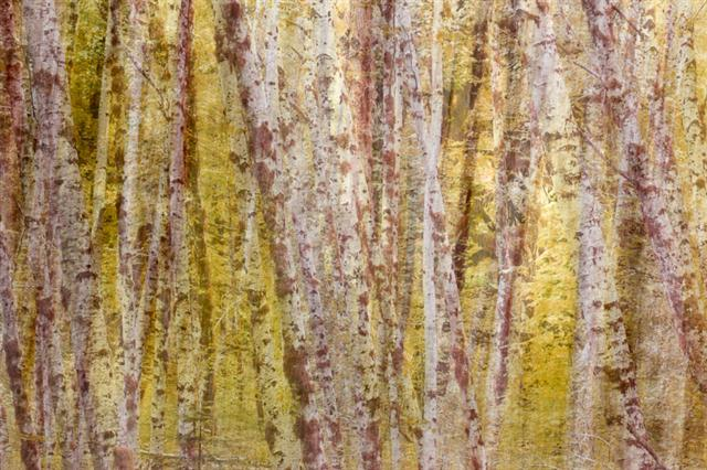 Painterly Alder Trees