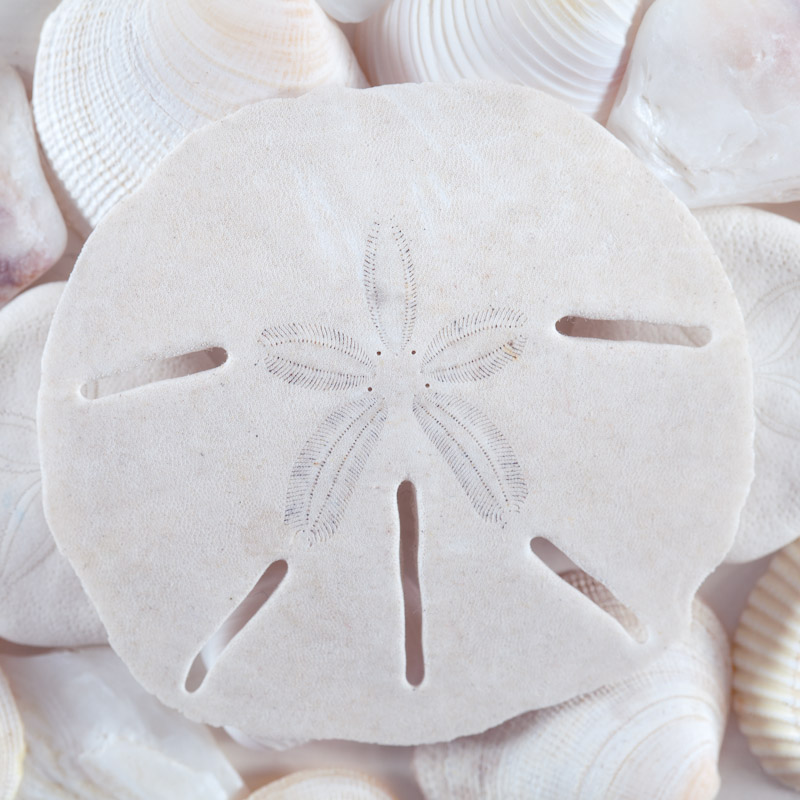 Sand Dollar and Shells