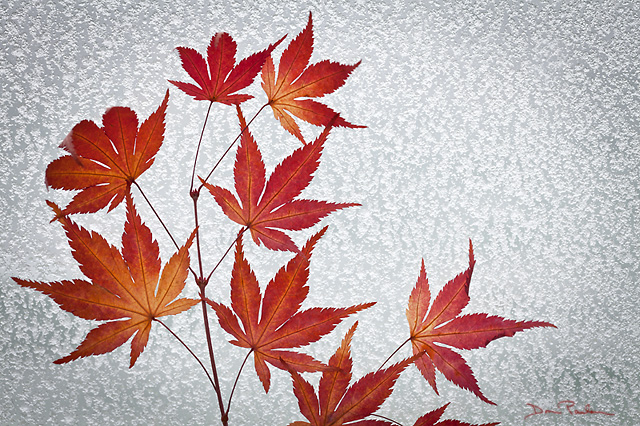 Maple Leaves & Frosty Window