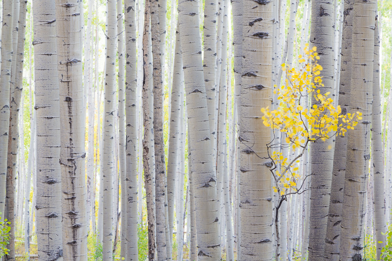 Aspen trees, Ohio Pass area, Colorado