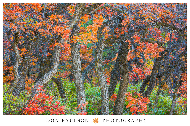 Poster - Oak Trees, San Juan National Forest, Colorado