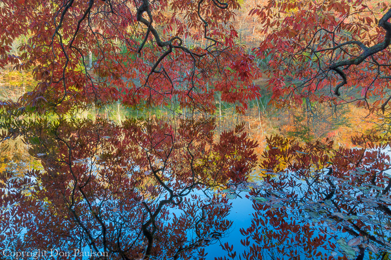 Wild cherry tree over Byrd Lake, Cumberland Mountain State Park, Tennessee
