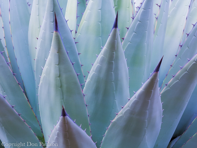 New Mexican Agave, (Agave parryi) Guadalupe Mountains National Park, Texas