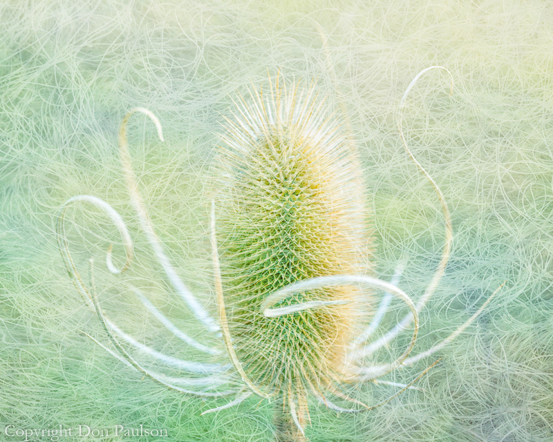 Teasel - Malheur National Wildlife Refuge, Oregon