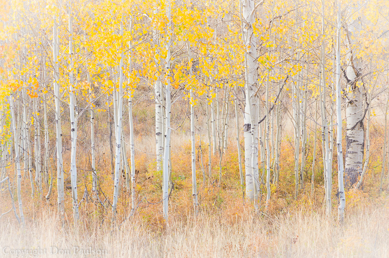 Aspen trees - Utah, Manti-La Sal National Forest