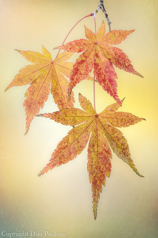 Japanese maple leaves-5 Photographed at 50.6 Megapixels