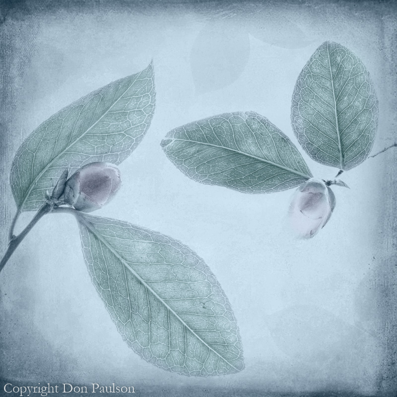 Camellia leaves and buds - Photographed at 50.6 megapixels