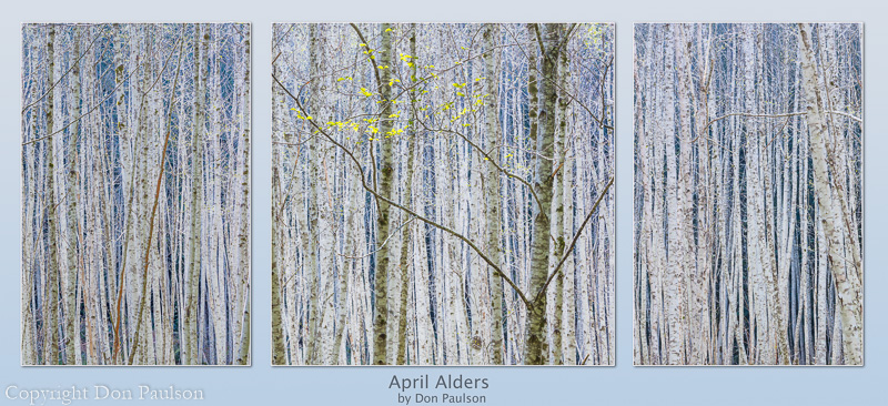A grove of young alder trees - Each photo sold separately