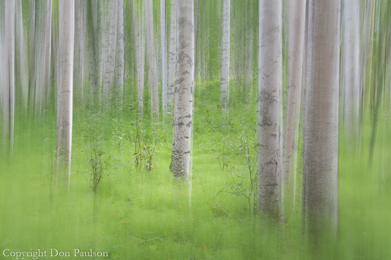 Abstract motion blur of birch trees - Alaska, Elliot Highway,