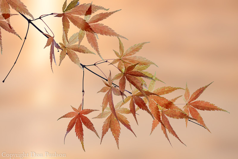 Fall Maple Leaves-1 - 50.6 megapixels