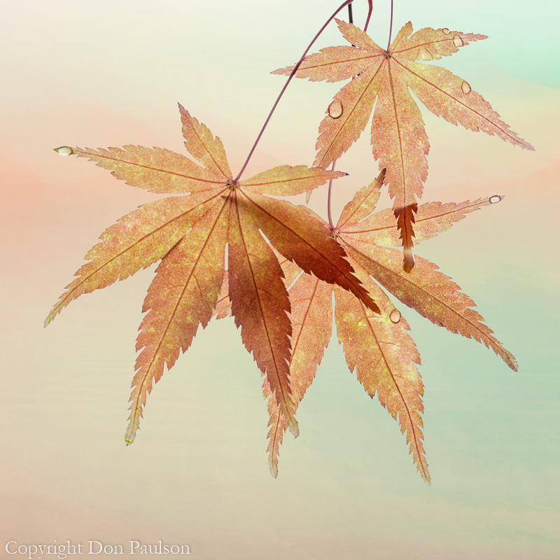 Fall maple leaves-2 Square Crop - 50 megapixels