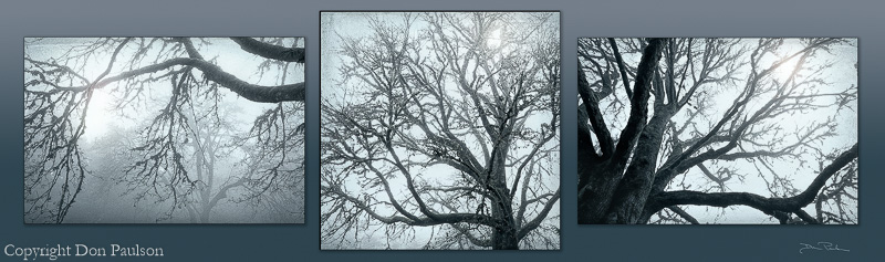 SET - Big Leaf Maple Tree in Fog- Each photo sold separately